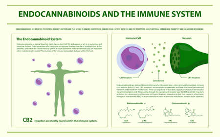 Endocannabinoids and the Immune System horizontal infographic illustration about cannabis as herbal alternative medicine and chemical therapy, healthcare and medical science vector.