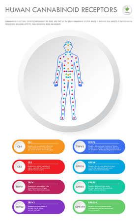 Receptores cannabinoides humanos - Ilustración de infografía empresarial vertical del sistema endocannabinoide sobre el cannabis como medicina alternativa a base de hierbas y terapia química, salud y vector de ciencia médica.