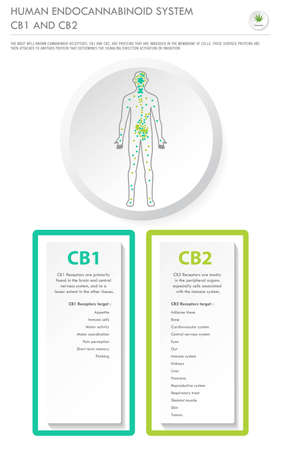 Human Endocannabinoid System CB1 and CB2 vertical business infographic illustration about cannabis as herbal alternative medicine and chemical therapy, healthcare and medical science vector.