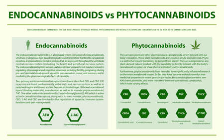 Endocannabinoids vs Phytocannabinoids horizontal infographic illustration about cannabis as herbal alternative medicine and chemical therapy, healthcare and medical science vector.