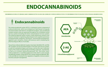 Endocannabinoids horizontal infographic illustration about cannabis as herbal alternative medicine and chemical therapy, healthcare and medical science vector.