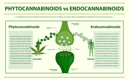 Phytocannabinoids vs Endocannabinoids horizontal infographic illustration about cannabis as herbal alternative medicine and chemical therapy, healthcare and medical science vector.
