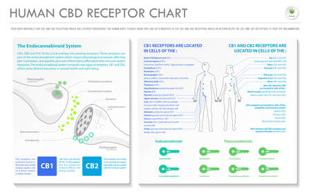 Human CBD Receptor Chart - Endocananbinoid horizontal business infographic illustration about cannabis as herbal alternative medicine and chemical therapy, healthcare and medical science vector.