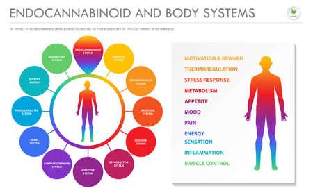 Endocannabinoides y sistemas corporales: ilustración de infografía empresarial horizontal endocananbinoide sobre el cannabis como medicina alternativa a base de hierbas y terapia química, salud y vector de ciencia médica. Ilustración de vector