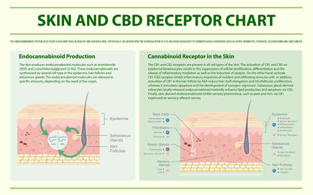 Skin and CBD Receptor Chart horizontal infographic illustration about cannabis as herbal alternative medicine and chemical therapy, healthcare and medical science vector.