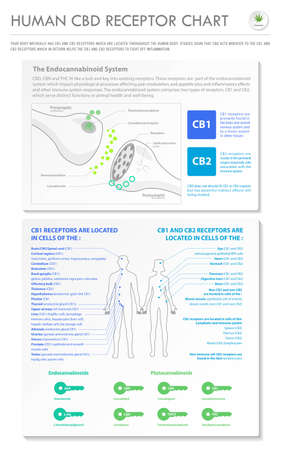 Human CBD Receptor Chart - Endocannabinoid vertical business infographic illustration about cannabis as herbal alternative medicine and chemical therapy, healthcare and medical science vector.