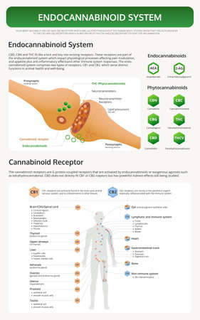 Human CBD Receptor Chart vertical textbook infographic illustration about cannabis as herbal alternative medicine and chemical therapy, healthcare and medical science vector.