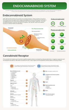 Menschliches CBD-Rezeptor-Diagramm vertikale Lehrbuch-Infografik über Cannabis als pflanzliche Alternativmedizin und chemische Therapie, Gesundheitswesen und medizinischer Wissenschaftsvektor. Vektorgrafik