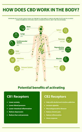 How Does CBD Work in the vertical infographic illustration about cannabis as herbal alternative medicine and chemical therapy, healthcare and medical science vector.