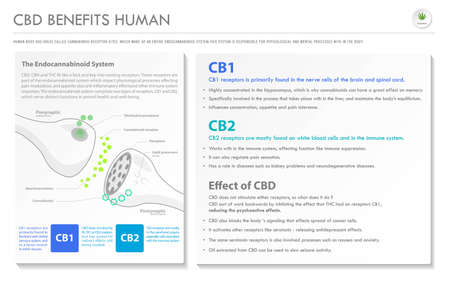 CBD Benefits Human horizontal business infographic illustration about cannabis as herbal alternative medicine and chemical therapy, healthcare and medical science vector.