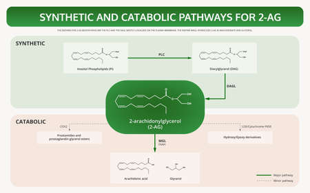 Synthetic And Catabolic Pathways for 2-arachidonylglycerol (2-AG) horizontal textbook infographic illustration about cannabis as herbal alternative medicine and chemical therapy, healthcare and medical science vector.