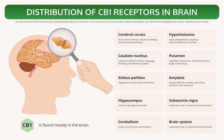 Distribution of CB1 Receptors in Brain horizontal textbook infographic illustration about cannabis as herbal alternative medicine and chemical therapy, healthcare and medical science vector.