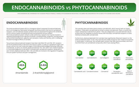 Endocannabinoids vs Phytocannabinoids horizontal textbook infographic illustration about cannabis as herbal alternative medicine and chemical therapy, healthcare and medical science vector.