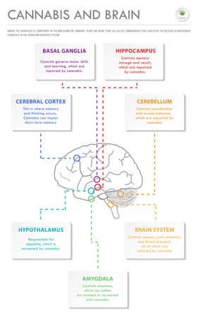Cannabis and Brain vertical business infographic illustration about cannabis as herbal alternative medicine and chemical therapy, healthcare and medical science vector. Illustration