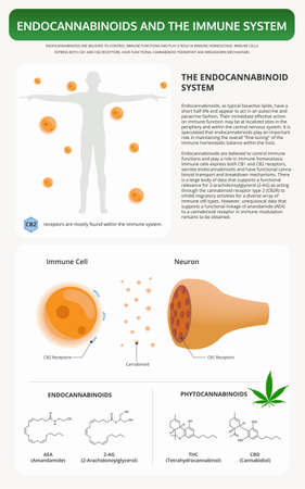 Endocannabinoids and the Immune System vertical textbook infographic illustration about cannabis as herbal alternative medicine and chemical therapy, healthcare and medical science vector.