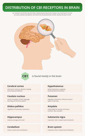 Distribution of CB1 Receptors in Brain vertical textbook infographic illustration about cannabis as herbal alternative medicine and chemical therapy, healthcare and medical science vector.