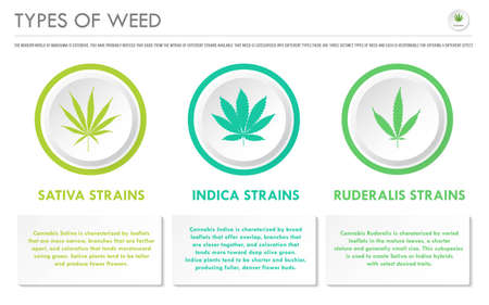 Types of Weed horizontal business infographic illustration about cannabis as herbal alternative medicine and chemical therapy, healthcare and medical science vector. Stock Illustratie