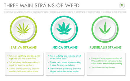 Three Main Strains of Weed horizontal business infographic illustration about cannabis as herbal alternative medicine and chemical therapy, healthcare and medical science vector. Illustration