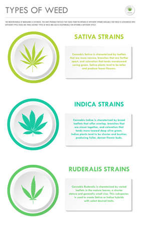 Types of Weed vertical business infographic illustration about cannabis as herbal alternative medicine and chemical therapy, healthcare and medical science vector. Illustration