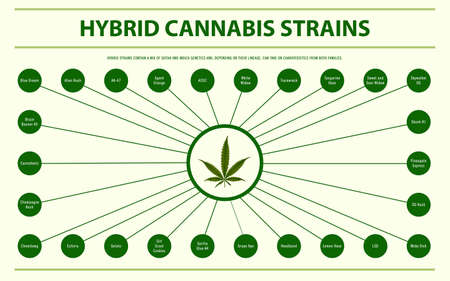 Hybrid Cannabis Strains horizontal infographic illustration about cannabis as herbal alternative medicine and chemical therapy, healthcare and medical science vector. Illustration