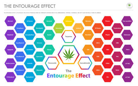 The Entourage Effect Overview horizontal business infographic illustration about cannabis as herbal alternative medicine and chemical therapy, healthcare and medical science vector. Illustration