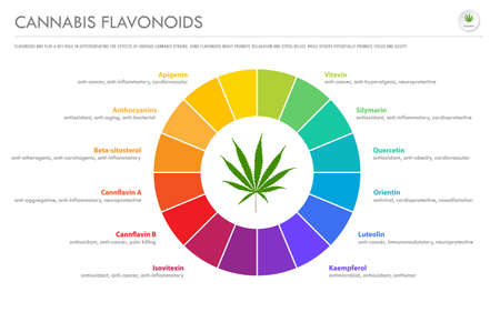 Cannabis Flavonoids horizontal business infographic illustration about cannabis as herbal alternative medicine and chemical therapy, healthcare and medical science vector.
