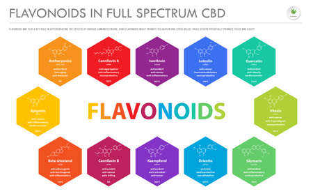 Flavonoids in Full Spectrum CBD with Structural Formulas horizontal business infographic illustration about cannabis as herbal alternative medicine and chemical therapy, healthcare and medical science vector.