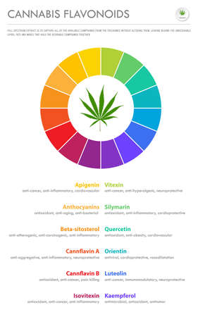 Cannabis Flavonoids vertical business infographic illustration about cannabis as herbal alternative medicine and chemical therapy, healthcare and medical science vector.