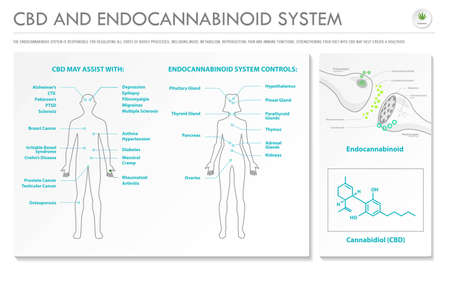 CBD and Endocannabinoid System horizontal business infographic illustration about cannabis as herbal alternative medicine and chemical therapy, healthcare and medical science vector.
