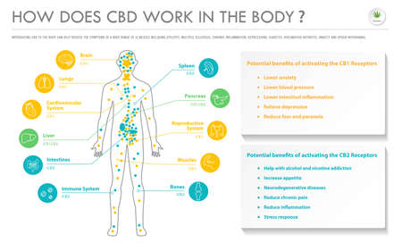 How Does CBD Work In the Body horizontal business infographic illustration about cannabis as herbal alternative medicine and chemical therapy, healthcare and medical science vector.