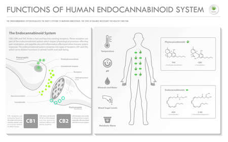 Functions of Human Endocannabinoid System horizontal infographic illustration about cannabis as herbal alternative medicine and chemical therapy, healthcare and medical science vector.