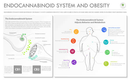 Endocannabinoid System and Obesity horizontal business infographic illustration about cannabis as herbal alternative medicine and chemical therapy, healthcare and medical science vector.