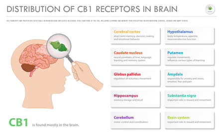 Distribution of CB1 Receptors in Brain horizontal business infographic illustration about cannabis as herbal alternative medicine and chemical therapy, healthcare and medical science vector.