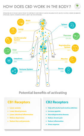 How Does CBD Work In the Body vertical business infographic illustration about cannabis as herbal alternative medicine and chemical therapy, healthcare and medical science vector. Vecteurs