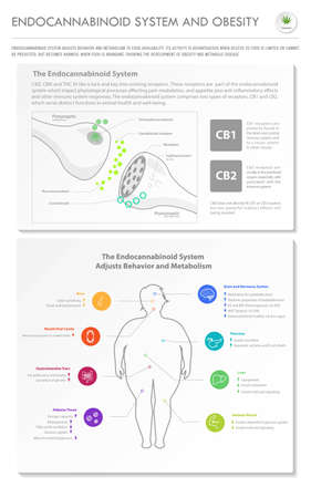 Endocannabinoid System and Obesity vertical business infographic illustration about cannabis as herbal alternative medicine and chemical therapy, healthcare and medical science vector.