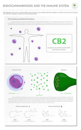 Endocannabinoids and the Immune System vertical business infographic illustration about cannabis as herbal alternative medicine and chemical therapy, healthcare and medical science vector.