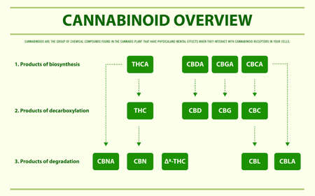 Cannabinoid Overview horizontal infographic illustration about cannabis as herbal alternative medicine and chemical therapy, healthcare and medical science vector.
