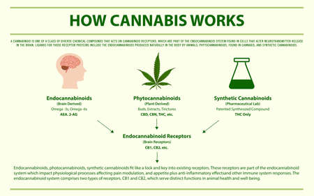 How Cannabis Works horizontal infographic illustration about cannabis as herbal alternative medicine and chemical therapy, healthcare and medical science vector.