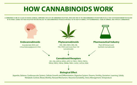 How Cannabinoids Work horizontal infographic illustration about cannabis as herbal alternative medicine and chemical therapy, healthcare and medical science vector.