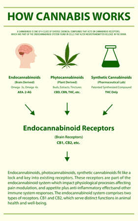 How Cannabis Works vertical infographic illustration about cannabis as herbal alternative medicine and chemical therapy, healthcare and medical science vector. 向量圖像