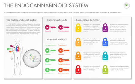 The Endocananbinoid System horizontal business infographic illustration about cannabis as herbal alternative medicine and chemical therapy, healthcare and medical science vector.