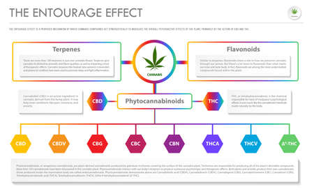 The Entourage Effect horizontal business infographic illustration about cannabis as herbal alternative medicine and chemical therapy, healthcare and medical science vector. 向量圖像