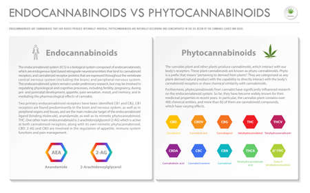 Endocannabinoids vs Phytocannabinoids horizontal business infographic illustration about cannabis as herbal alternative medicine and chemical therapy, healthcare and medical science vector.