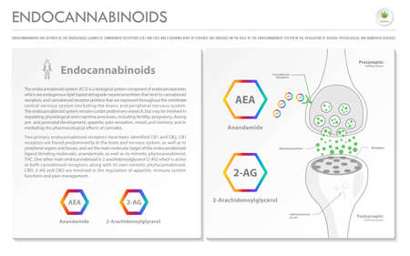 Endocannabinoids horizontal business infographic illustration about cannabis as herbal alternative medicine and chemical therapy, healthcare and medical science vector.