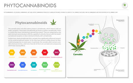 Phytocannabinoids horizontal business infographic illustration about cannabis as herbal alternative medicine and chemical therapy, healthcare and medical science vector. 向量圖像