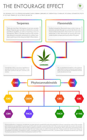 The Entourage Effect vertical business infographic illustration about cannabis as herbal alternative medicine and chemical therapy, healthcare and medical science vector.