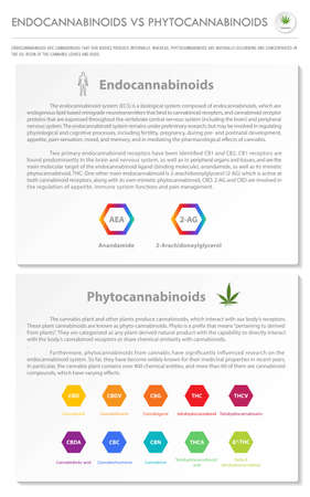 Endocannabinoids vs Phytocannabinoids vertical business infographic illustration about cannabis as herbal alternative medicine and chemical therapy, healthcare and medical science vector.