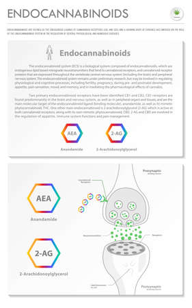 Endocannabinoids vertical business infographic illustration about cannabis as herbal alternative medicine and chemical therapy, healthcare and medical science vector.