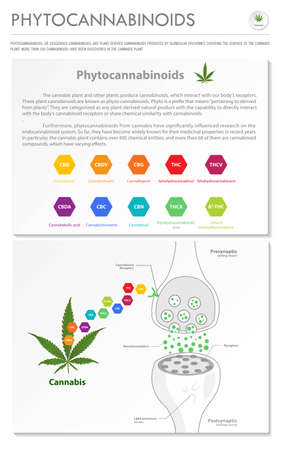 Phytocannabinoids vertical business infographic illustration about cannabis as herbal alternative medicine and chemical therapy, healthcare and medical science vector.