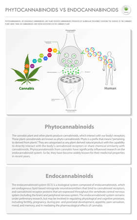 Phytocannabinoids vs Endocannabinoids vertical business infographic illustration about cannabis as herbal alternative medicine and chemical therapy, healthcare and medical science vector. 向量圖像